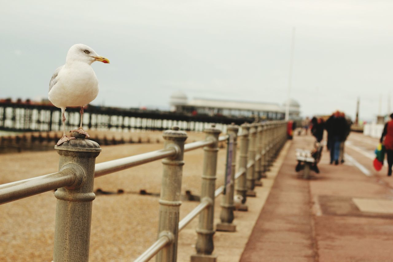 bird, animal themes, railing, seagull, animals in the wild, perching, one animal, day, outdoors, focus on foreground, animal wildlife, sea, sky, wooden post, nature, no people, architecture, close-up
