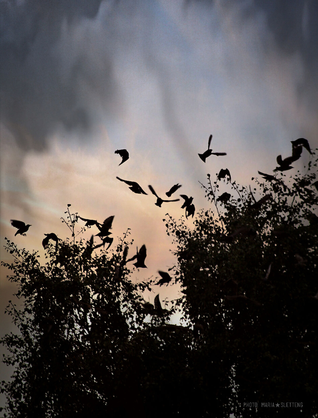 Birds Bird Birds Flying Tree With Birds Tree Silhouette Birds Silhouette Fåglar Fågel Siluett Träd Siluett Nature Photography Natur Sky