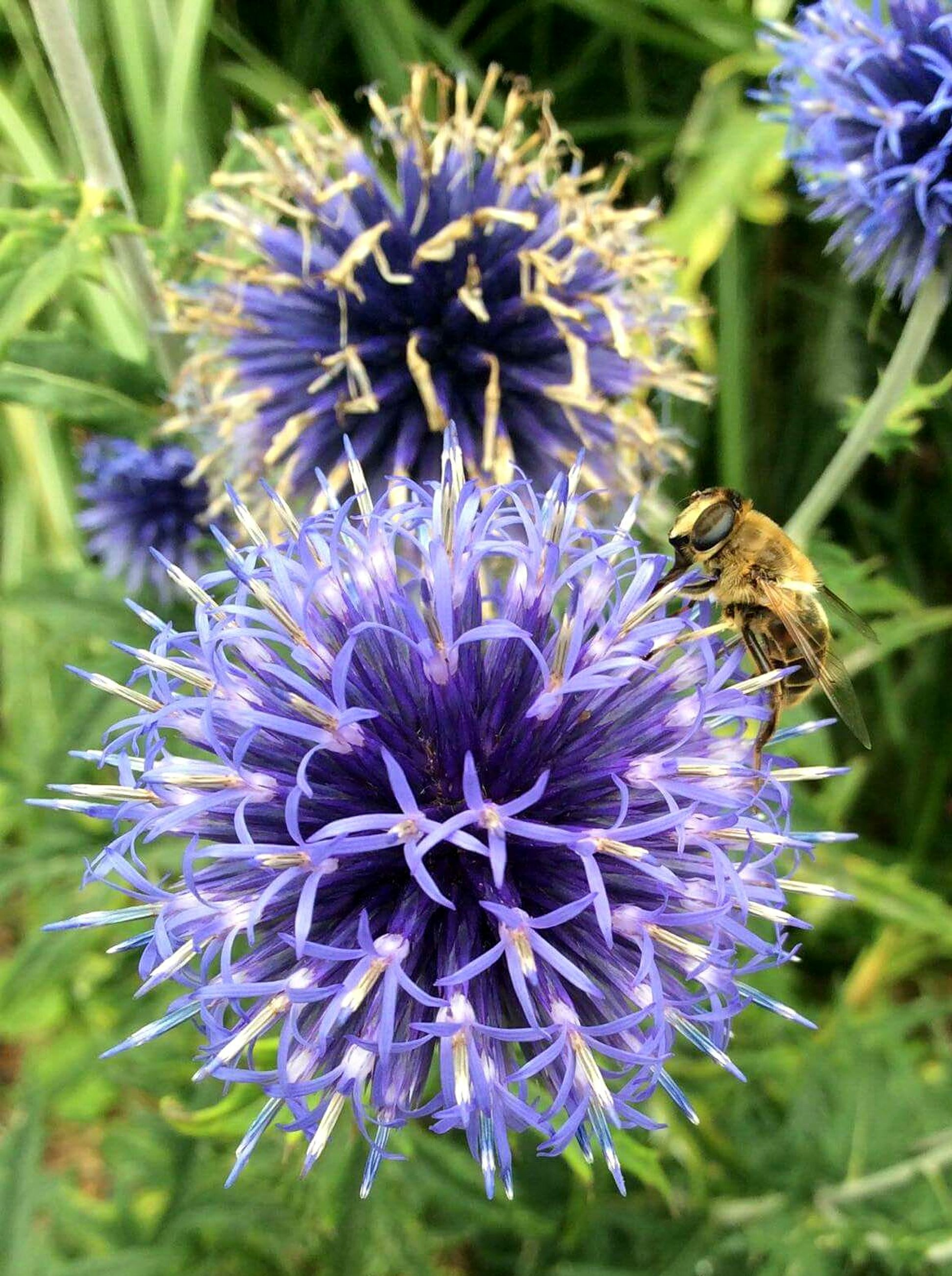flower, purple, fragility, nature, beauty in nature, animal themes, growth, plant, insect, animals in the wild, freshness, one animal, blooming, petal, flower head, outdoors, pollination, no people, day, close-up, bee, thistle