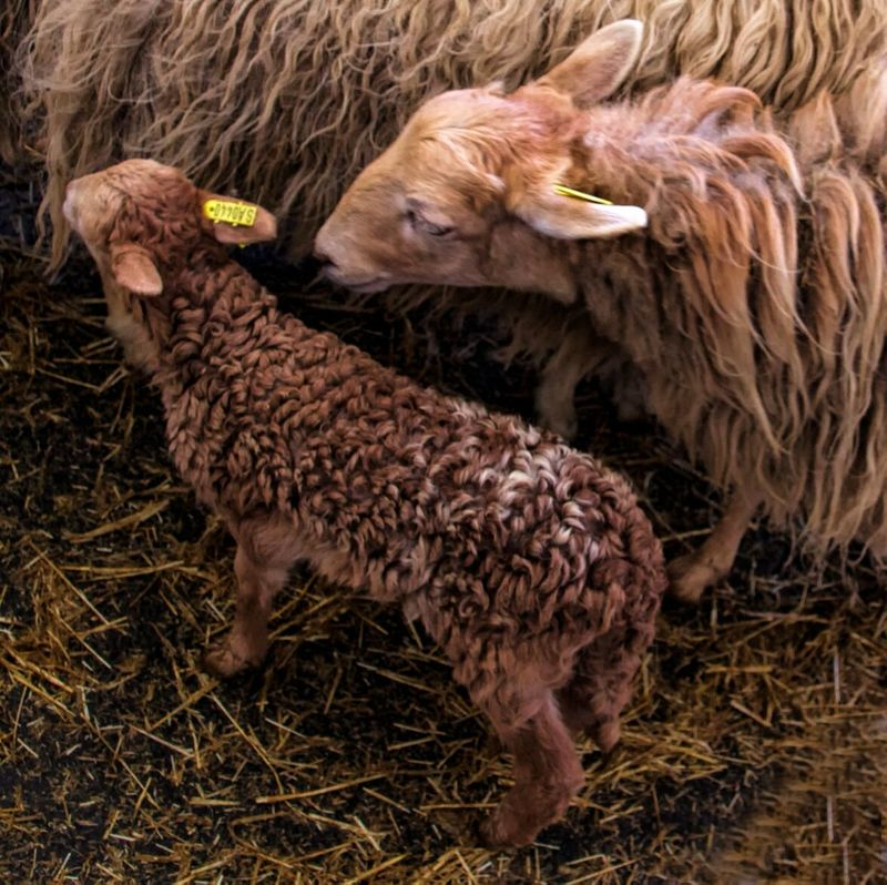 Sheep and baby lamb Close-up View From Above Showcase: February Nature Photography Nature Textures Pattern, Texture, Shape And Form Lamb Sheep Animal Photography Easter Ready