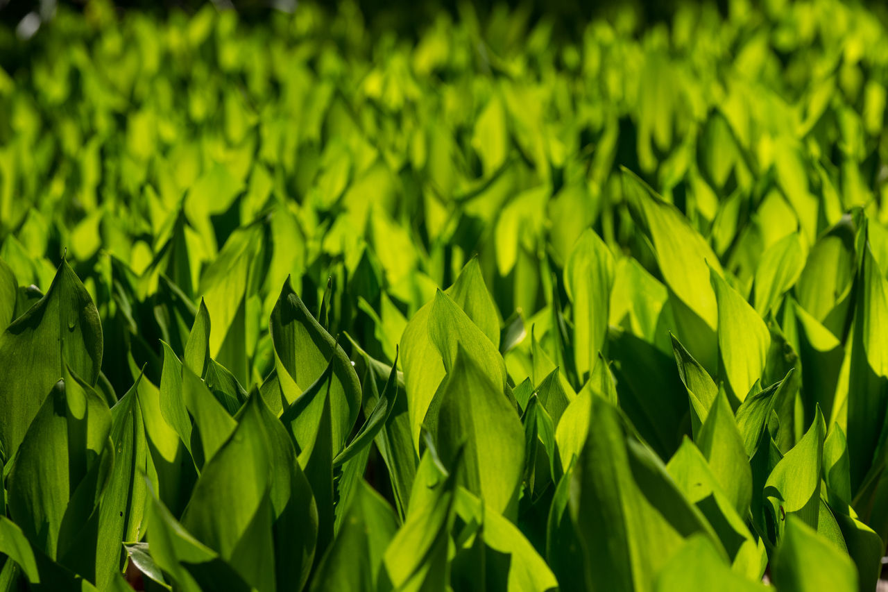 A field full with fresh green leaves Backgrounds Beauty In Nature Close-up Day Field Freshness Full Frame Grass Green Color Growth Leaf Nature No People Outdoors Plant