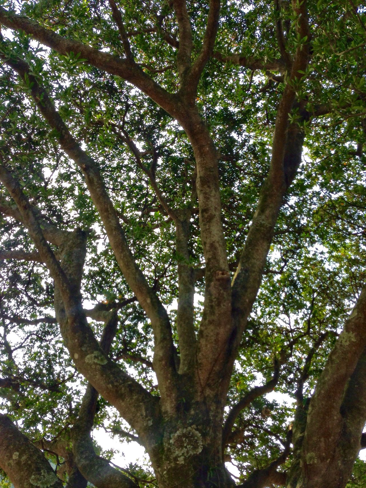 Tree Tree Trunk Treetop Tree Branches Tree Nature Low Angle View Growth Branch No People Outdoors Beauty In Nature Day Saikai City Japan