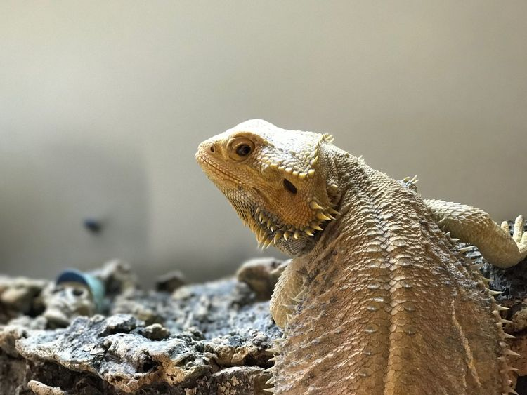 EyeEm Selects One Animal Lizard Reptile Bearded Dragon Animals In The Wild Animal Themes Animal Wildlife Close-up No People Nature Day Outdoors Iguana