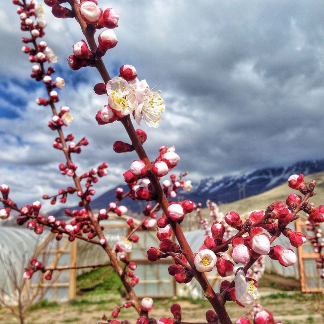 I took so many DSLR shots of these fruit tree blossoms but this iPhone shot turned out pretty well. Even with the wind. Biodynamicfarm Farm Fruittrees Blossom Spring