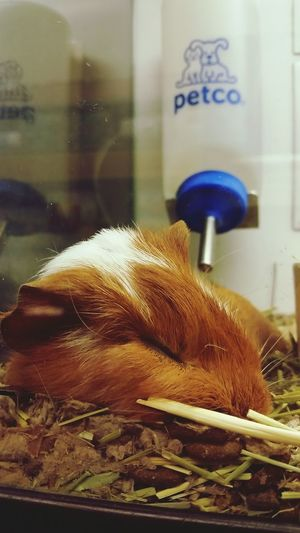 Petco Petstore Guinea Pig Nap Time