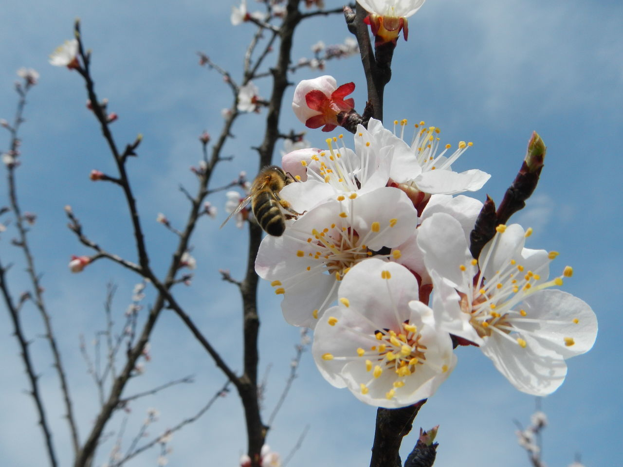 Bee At Work Apricot Apricot Blossoms Apricot Flowers Apricot Tree ApricotBlossom Bee Bee And Flower Blossom Close-up Flower Flower Head Growth In Bloom Nature Petal White Color Urban Spring Fever Showcase April Blue Wave Outdoors Wildlife Nature's Diversities