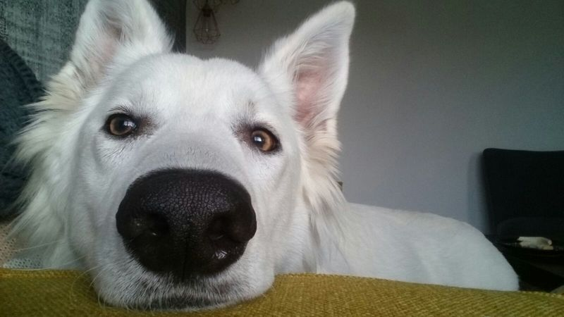 Swiss Shepherd Doggy Looking At Camera Dog Pets Close-up Domestic Animals Animal Themes EyeEmNewHere Berger Blanc Suisse