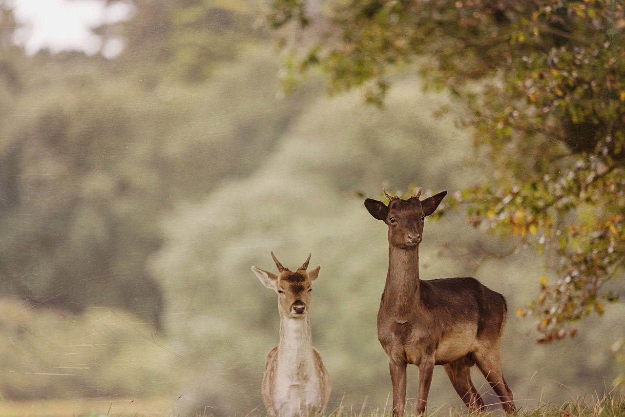 Watching Deer Animals In The Wild Animal Wildlife Animal Themes Mammal Nature Day Outdoors Portrait Looking At Camera No People The Great Outdoors - 2017 EyeEm Awards Landscape_Collection Wildlife Photography Wildlife & Nature Place Of Heart Beauty In Nature Deers