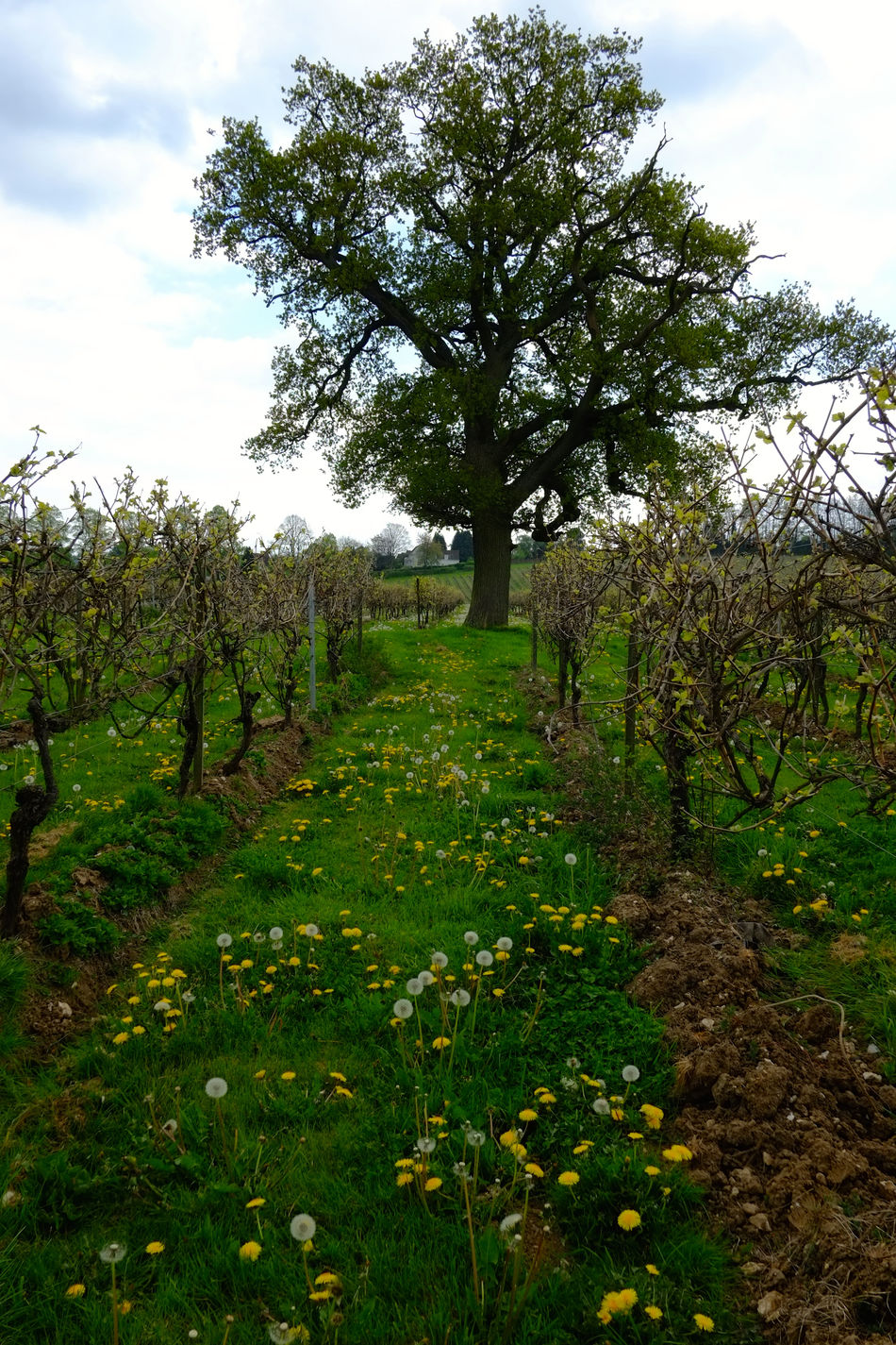 Vineyard in the spring Agriculture Beauty In Nature Countryside Day Farm Field Fresh Grapes Green Color Growth Growth Landscape Nature Nature Organic Outdoors Plants Scenics Spring Tranquil Scene Tranquility Tree Vineyard Wine Wine Moments Break The Mold
