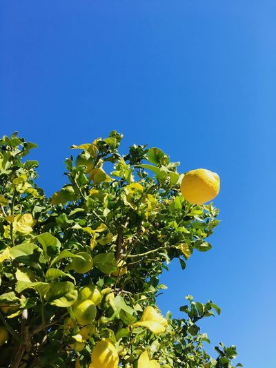 Blue Clear Sky Low Angle View Lemon Growth Tree Nature No People Fruit Outdoors Beauty In Nature Freshness Day Orange Tree Lemon Lemon Tree Blue Sky Summertime Summer