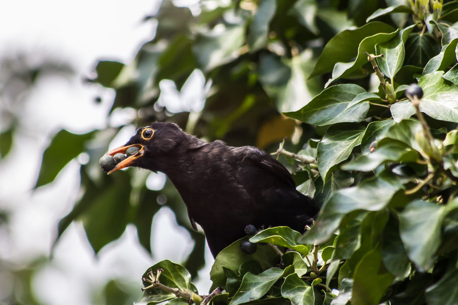 Amsel Amsel Und Beeren Bird Photography Bird With Berries Birds Birds Of EyeEm  Birds_collection Birds_n_branches Blackbird Blackbird And Berries Blackbird In Tree Blackbirds Vogel