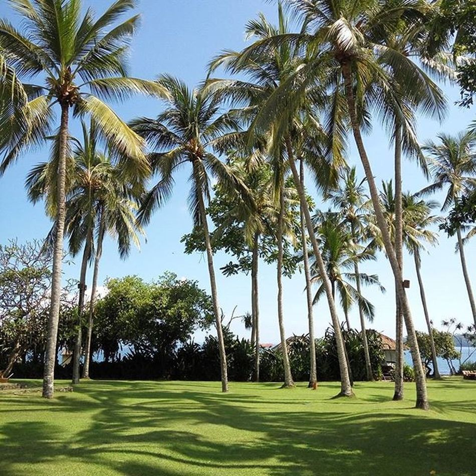 Blue sky amongst the coconut trees Bali Blue Sky Alilamanggis Excotic Coconut Trees Green Blue Weather