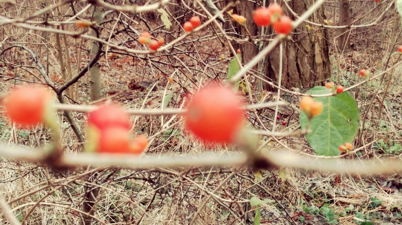 fruit, food and drink, selective focus, growth, focus on background, red, day, nature, outdoors, food, no people, tree, branch, healthy eating, beauty in nature, freshness, close-up