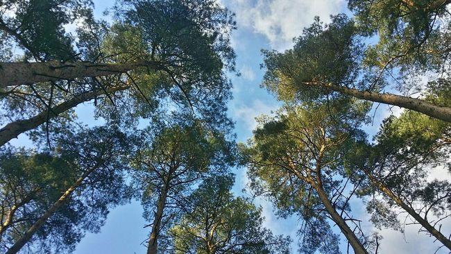 Treetops Coniferous Trees Conifers Belgium WoodLand Deepthoughts Relaxed Nature Beautiful Nature Beautiful Day Sunrays Bluesky White Clouds Beautiful