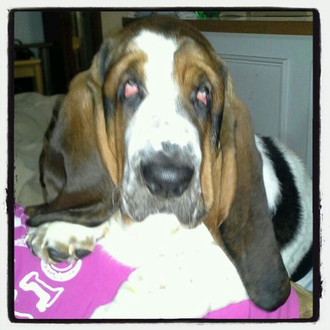 Just gimme all you got.. Dogs Popular Bassethounds Bobes Pets