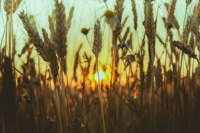 Beauty In Nature Evening Field Focus On Foreground Grass Growing Growth Idyllic Landscape Nature No People Orange Color Plant Sky Stem Summer Sun Sunbeam Sunlight Sunset Tranquility Wheat