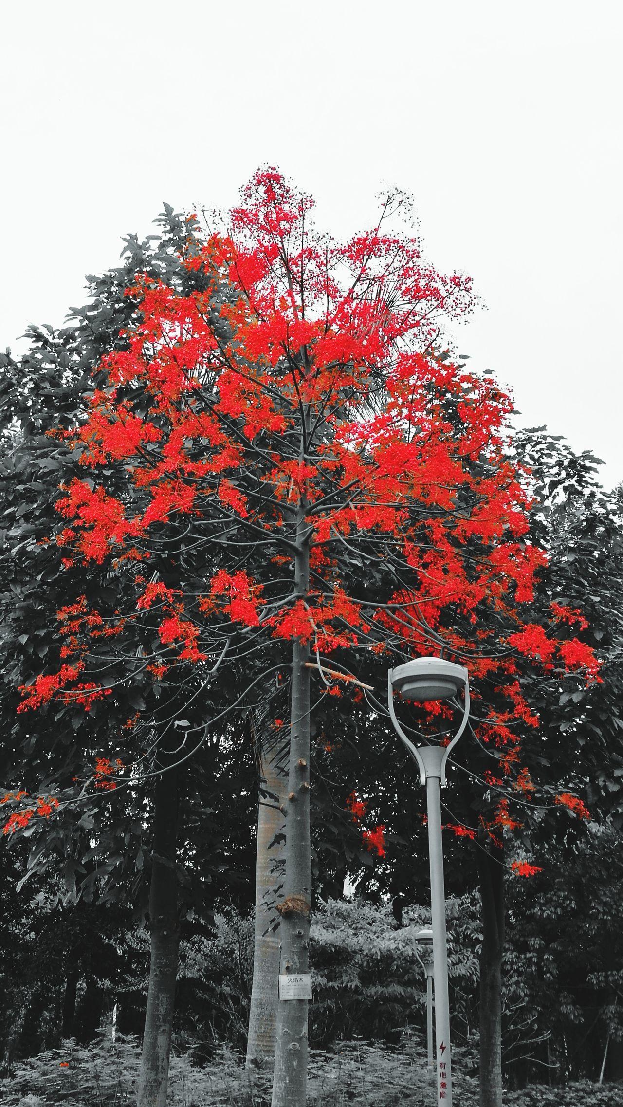 火焰木(花)