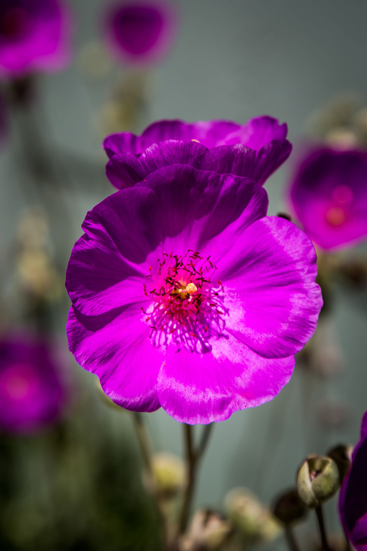 Purple Poppy Beauty In Nature Blooming Close-up Day Flower Flower Head Focus On Foreground Fragility Freshness Growth Nature No People Outdoors Petal Pink Color Plant Poppies  Poppy Purple Purple Poppy