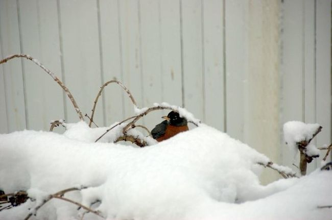 He forgot to fly south. My backyard a few winters ago. Birds Winter Cold Washington State Pacific Northwest