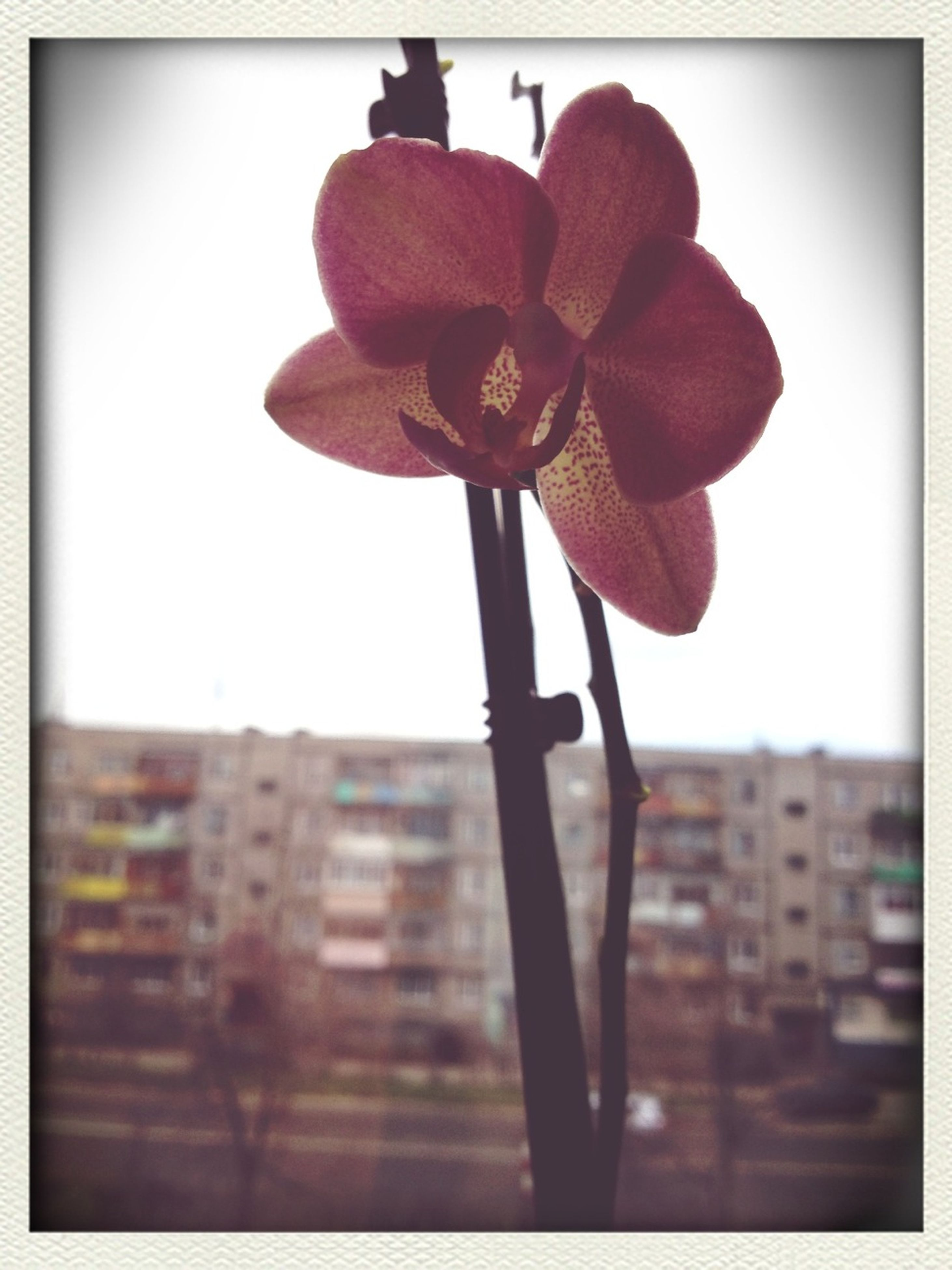 transfer print, auto post production filter, flower, building exterior, architecture, built structure, fragility, clear sky, city, growth, sky, freshness, low angle view, no people, window, close-up, flower head, focus on foreground, day, outdoors
