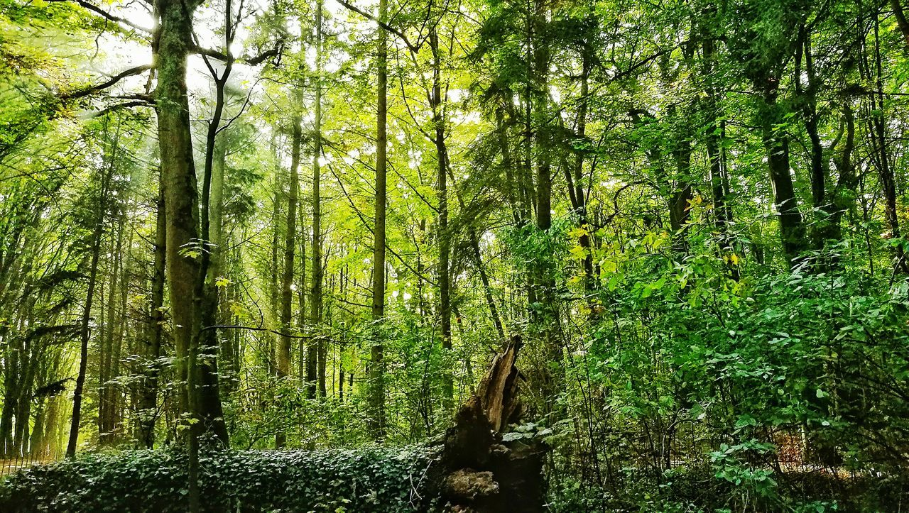 forest, nature, tree, beauty in nature, growth, tranquility, tranquil scene, outdoors, tree trunk, day, green color, no people, lush foliage, scenics, bamboo - plant, bamboo grove, wilderness, branch, wilderness area
