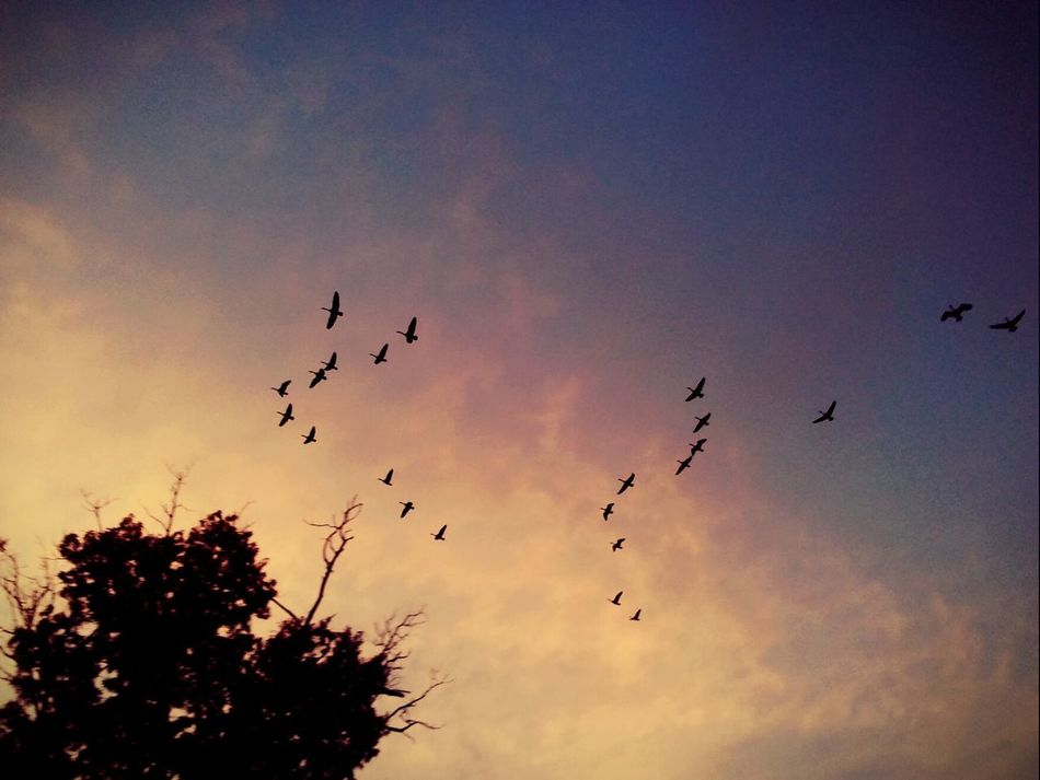 Bird Flying Large Group Of Animals Flock Of Birds Animals In The Wild Animal Wildlife Silhouette Sunset Animal Themes Sky Nature No People Outdoors Beauty In Nature Multi Colored Picturejunkie Check This Out Pretty♡ At The Lake Nature Perspectives On Nature