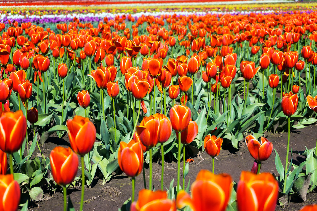 Low angle view of a tulip field in Woodburn, Oregon Agriculture Farm Field Fields Floral Flower Flower Head Flowers Fragility Freshness Growth Landscape Nature Oregon Outdoors Plant Poppy Rural Scenic Season  Springtime Tulip Tulips USA Woodburn