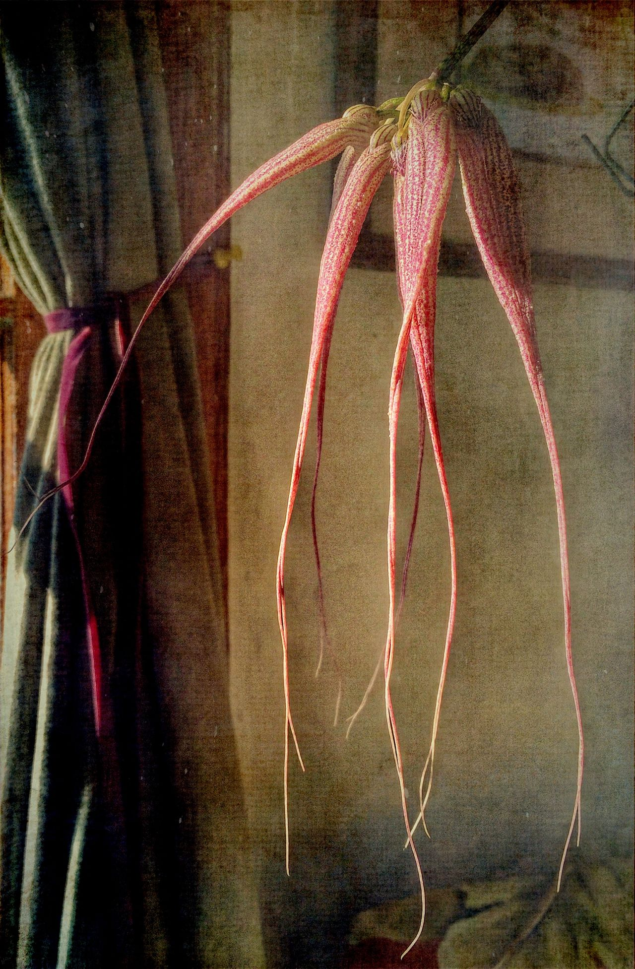 Dendritic Drama Abstract Botany Bulbophyllum Elizabeth Ann 'Buckleberry' Orchid. Commonly Known As A Bulbo Fragility Glowing Growing Modern Meets Old Fashioned Orchid Pink Tendrils