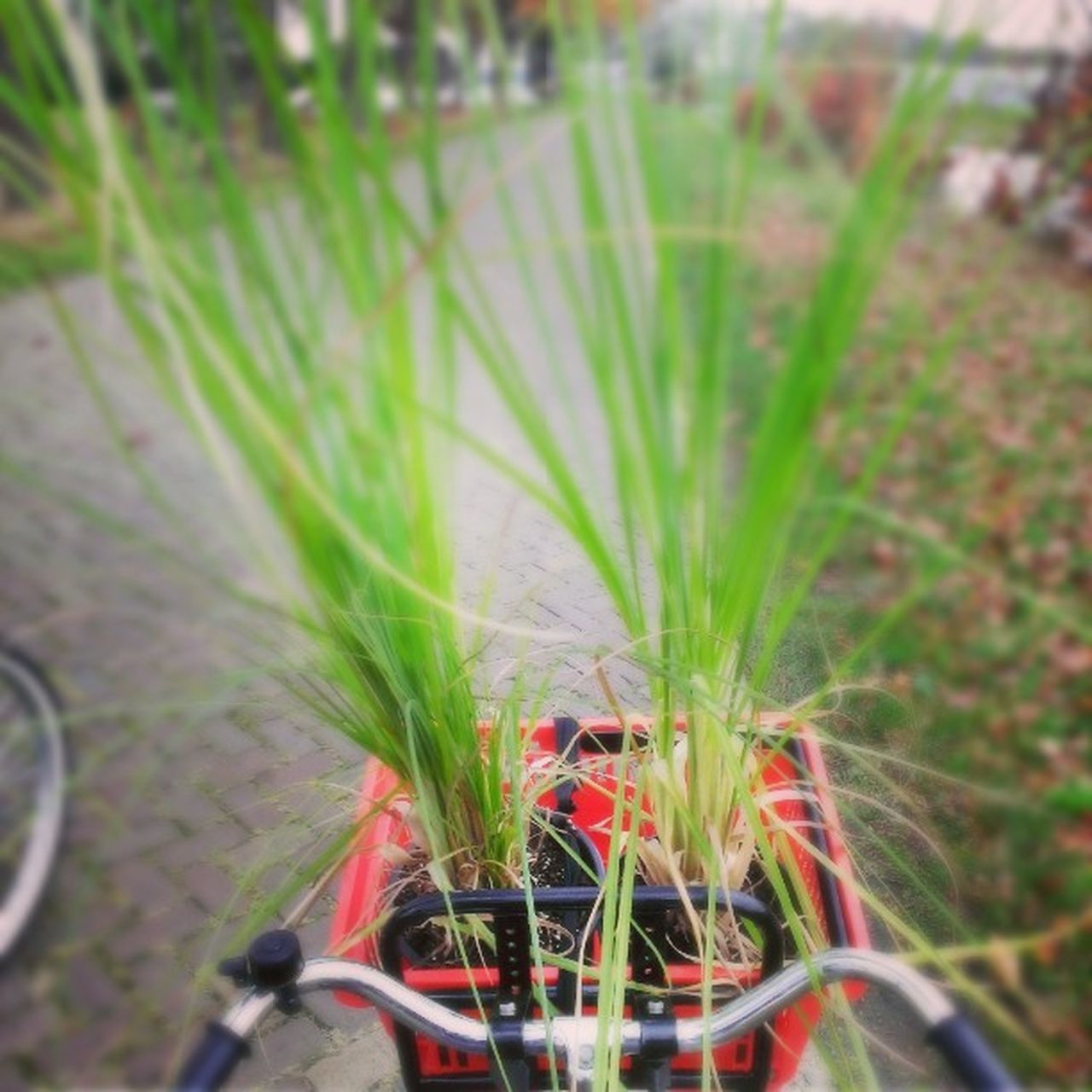 grass, growth, plant, outdoors, green color, red, nature, one person, day, flower, close-up, people
