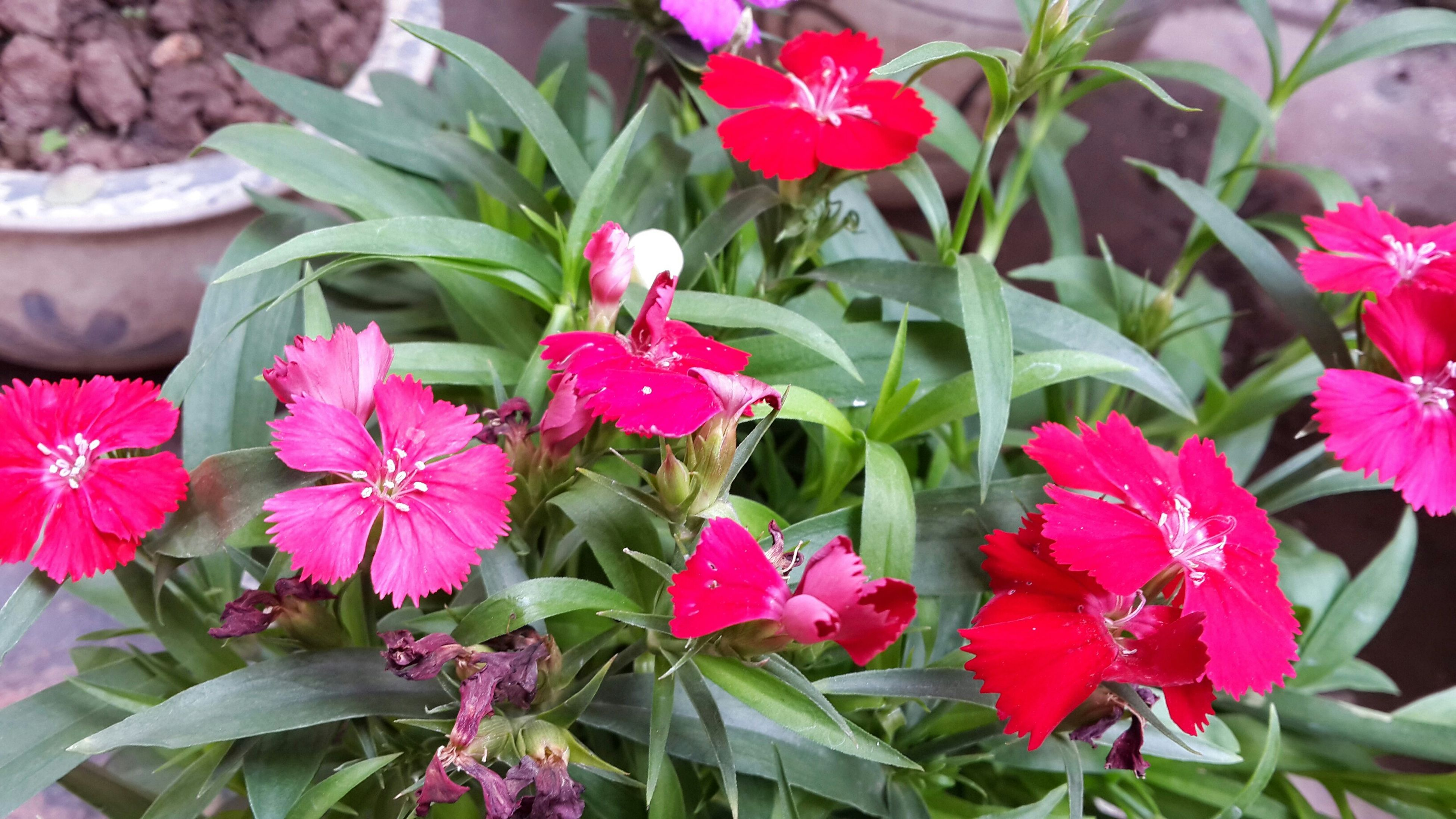 flower, freshness, petal, fragility, growth, beauty in nature, flower head, pink color, plant, red, leaf, nature, blooming, close-up, in bloom, tulip, bud, focus on foreground, blossom, springtime