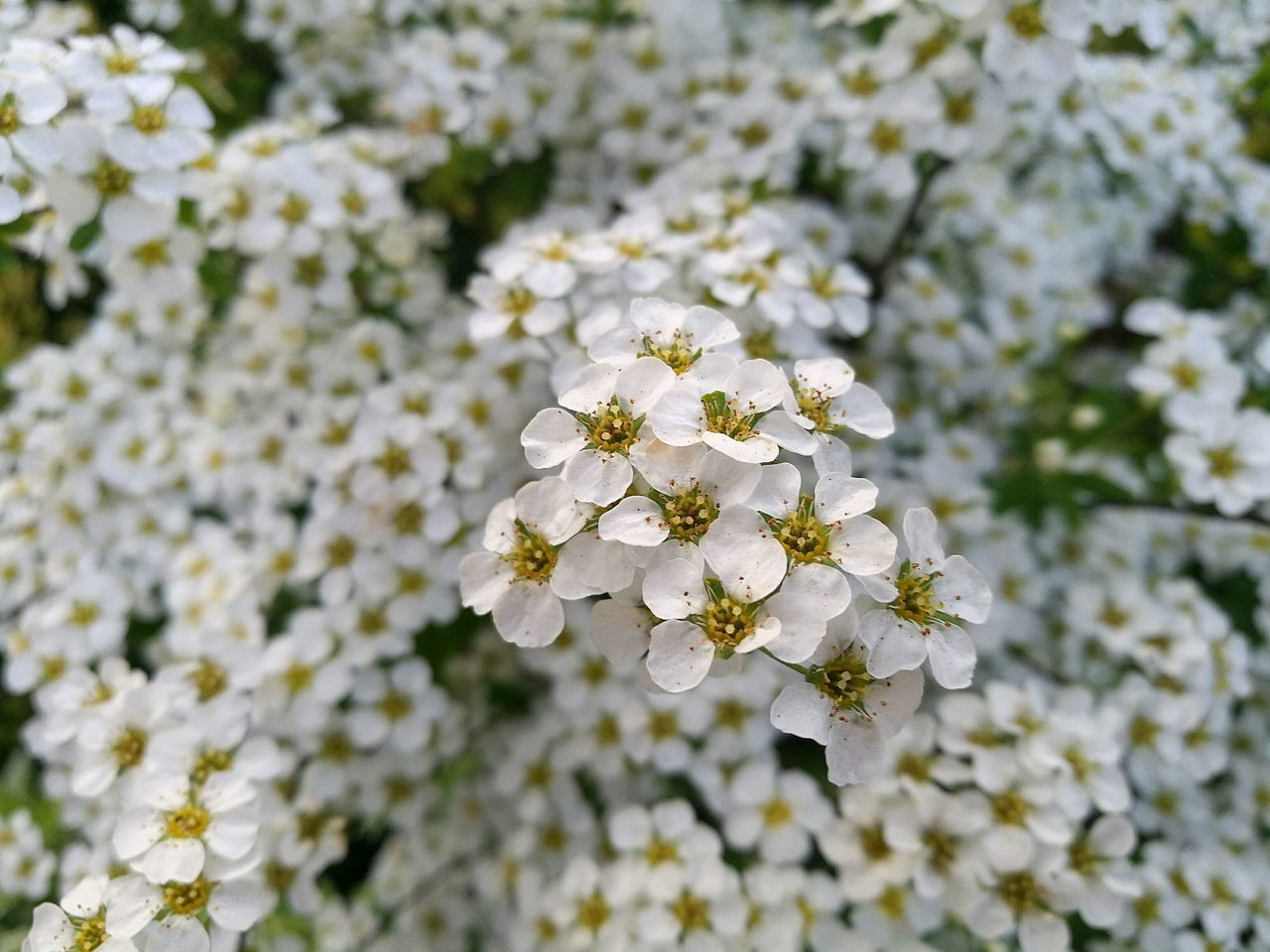 Springtime Blossoms Hawthorn Hawthorn Blossom Hedgerow Plant Hedgerow Blossom Close-up Petals Outdoors Freshness Botany Fragility White Color Focus On Foreground Springtime Flower Flower Head Nature Beauty In Nature Plant Growth Sun On A Flower P9 Huawei Spring Photography Blossoms