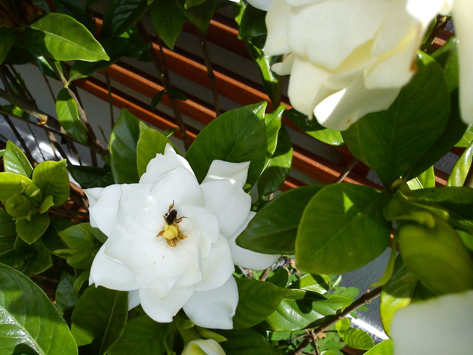 Leaf Nature Growth Plant Green Color Insect Freshness Beauty In Nature Fragility Flower Head Outdoors No People Flower Close-up Day Gardenia White Flower