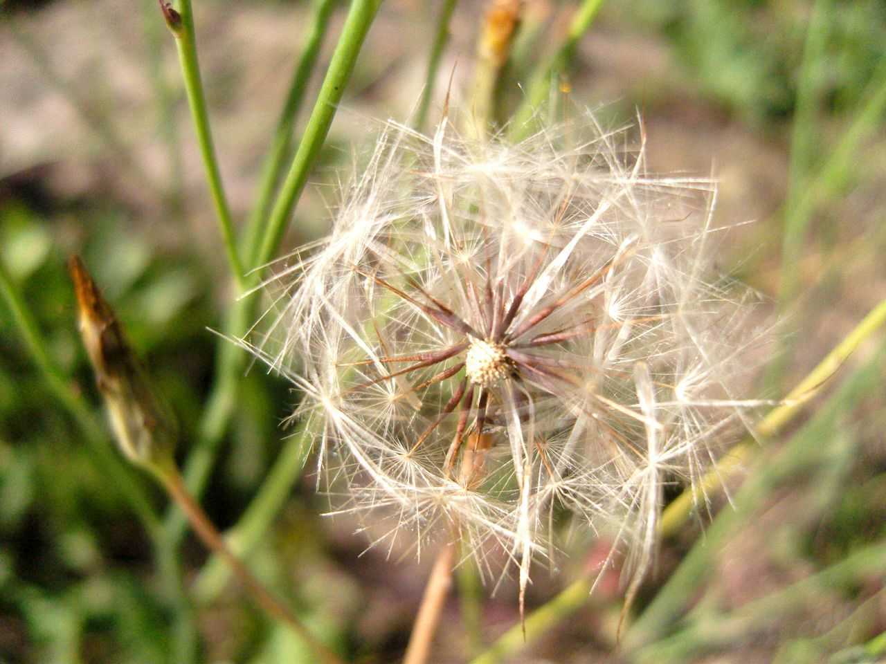 flower, dandelion, nature, growth, fragility, plant, close-up, focus on foreground, no people, wildflower, flower head, day, outdoors, uncultivated, beauty in nature, freshness