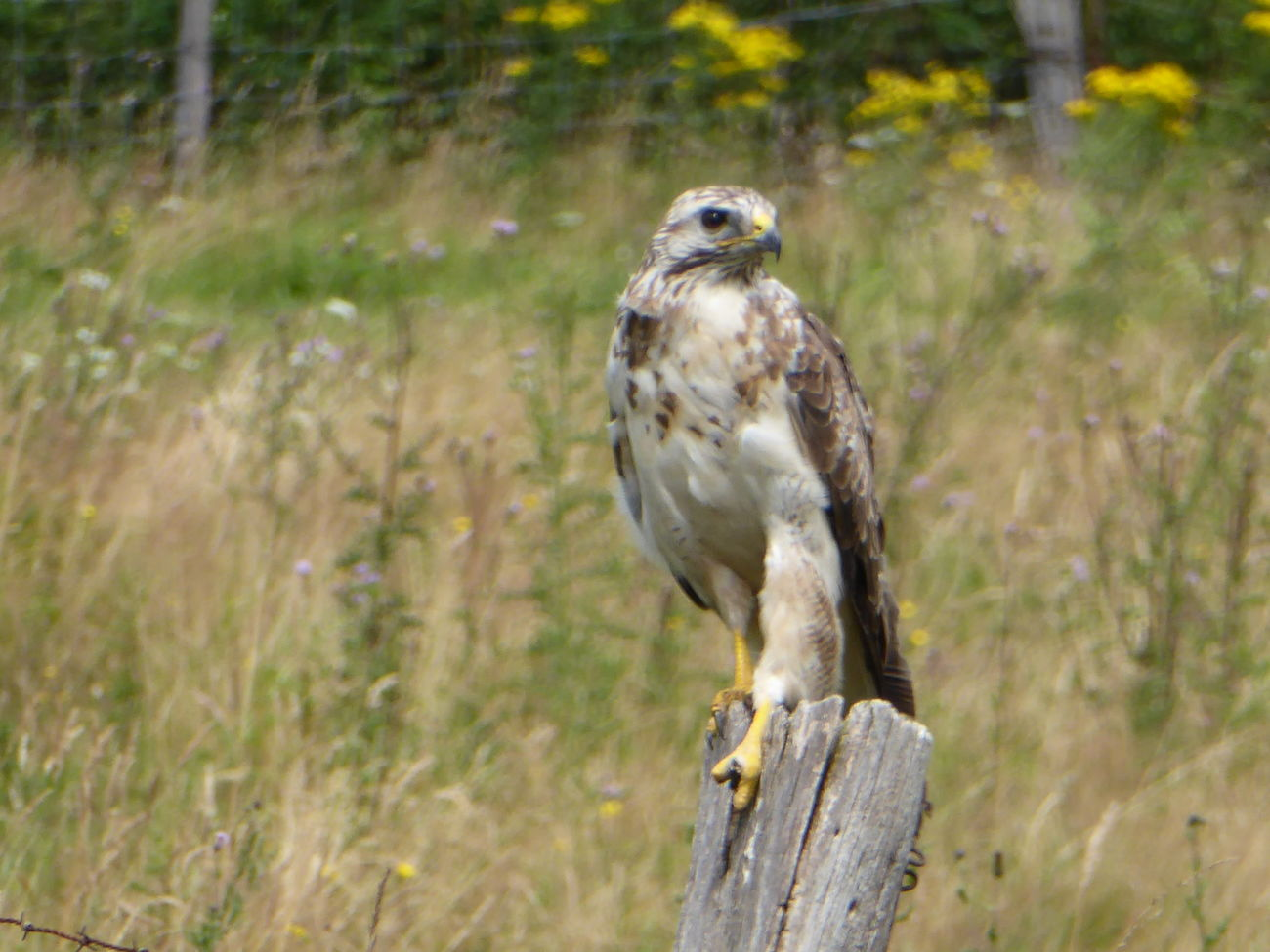 Animals In WildlifeMäusebussard Common Buzzard Birds Of EyeEm  Magicmoment Animals Posing Naturelovers Enjoying Life Beautiful Nature Birds_collection Birdwatching Animals In The Wild Nature Photography On The Way Birds In The Wild Adventure Club Showcase July