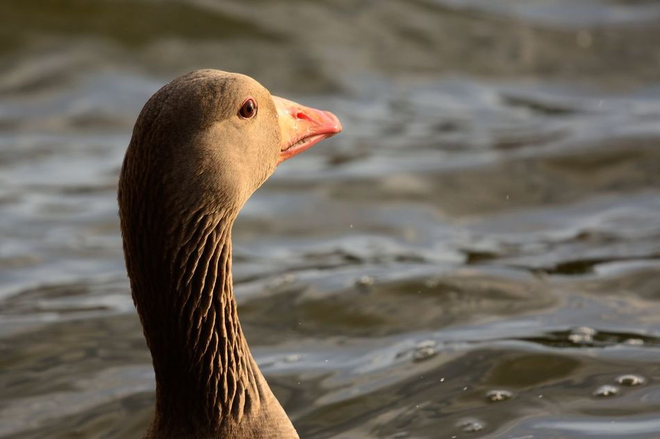 Animal Themes Animal Wildlife Animals In The Wild Beak Beauty In Nature Bird Birds Check This Out Close-up Day EyeEm Best Shots EyeEm Nature Lover Focus On Foreground Goose Greylag Goose Lake Nature Nature Nature_collection No People One Animal Outdoors Taking Photos Water Wildlife
