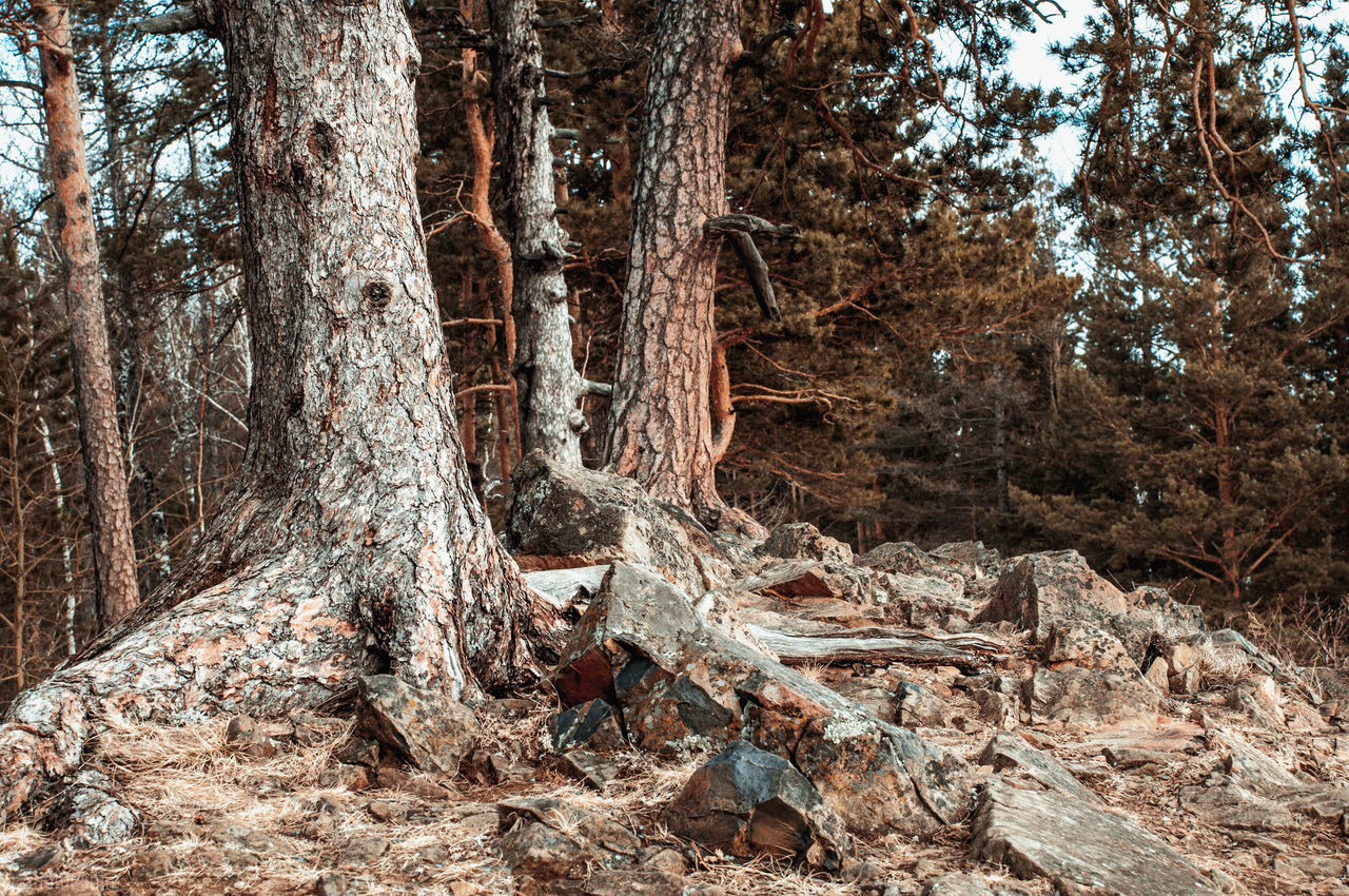 tree, tree trunk, forest, nature, woodland, no people, day, outdoors, tranquility, beauty in nature, tranquil scene, growth, branch, scenics, landscape, sky