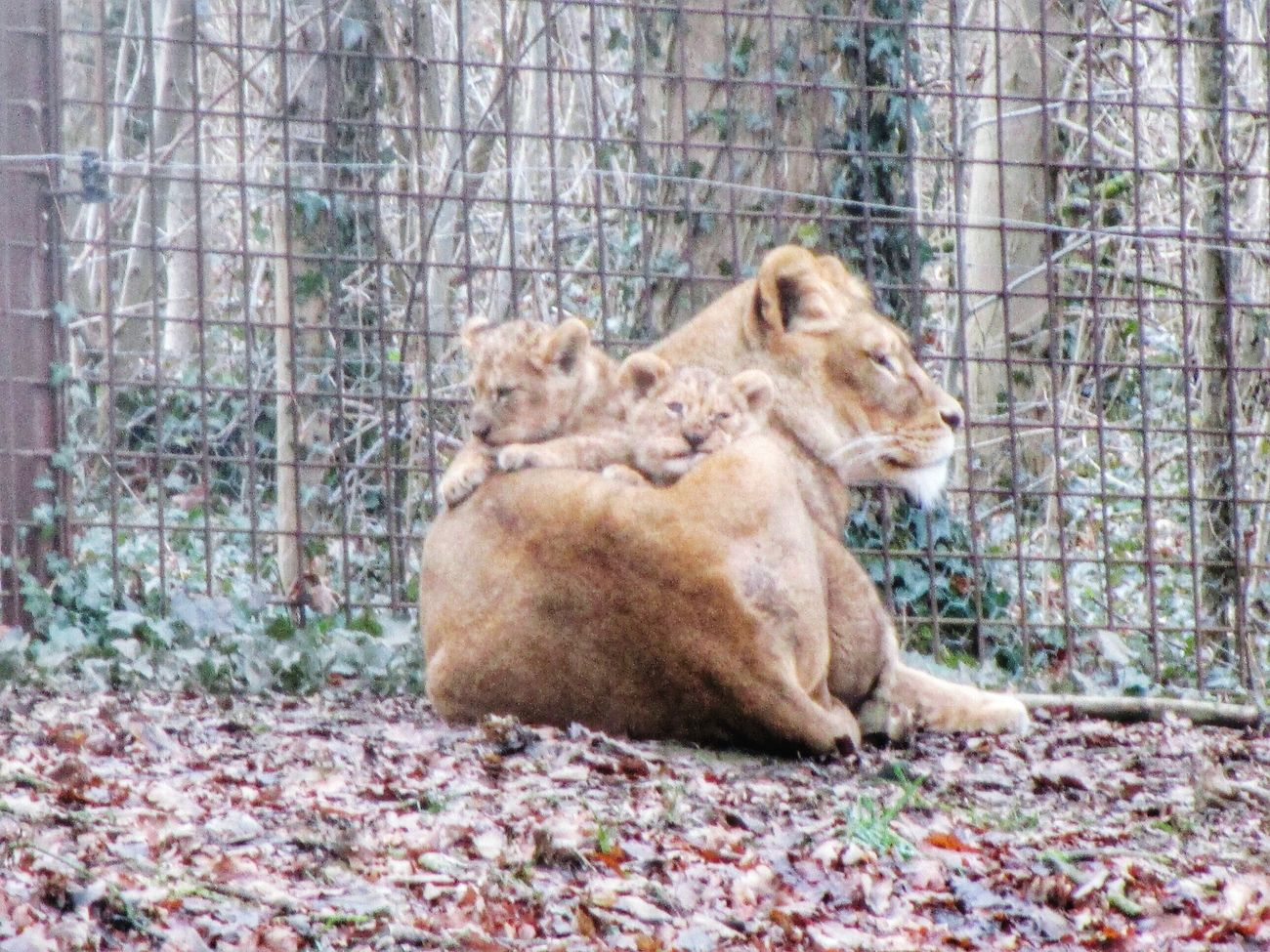 Animalposing Lionpups Animal Love Noedit GAIAZOO-KERKRADE