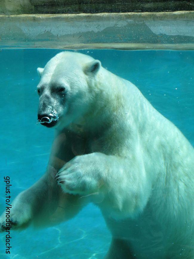 Eisbär Polar Bear Animals Tiere
