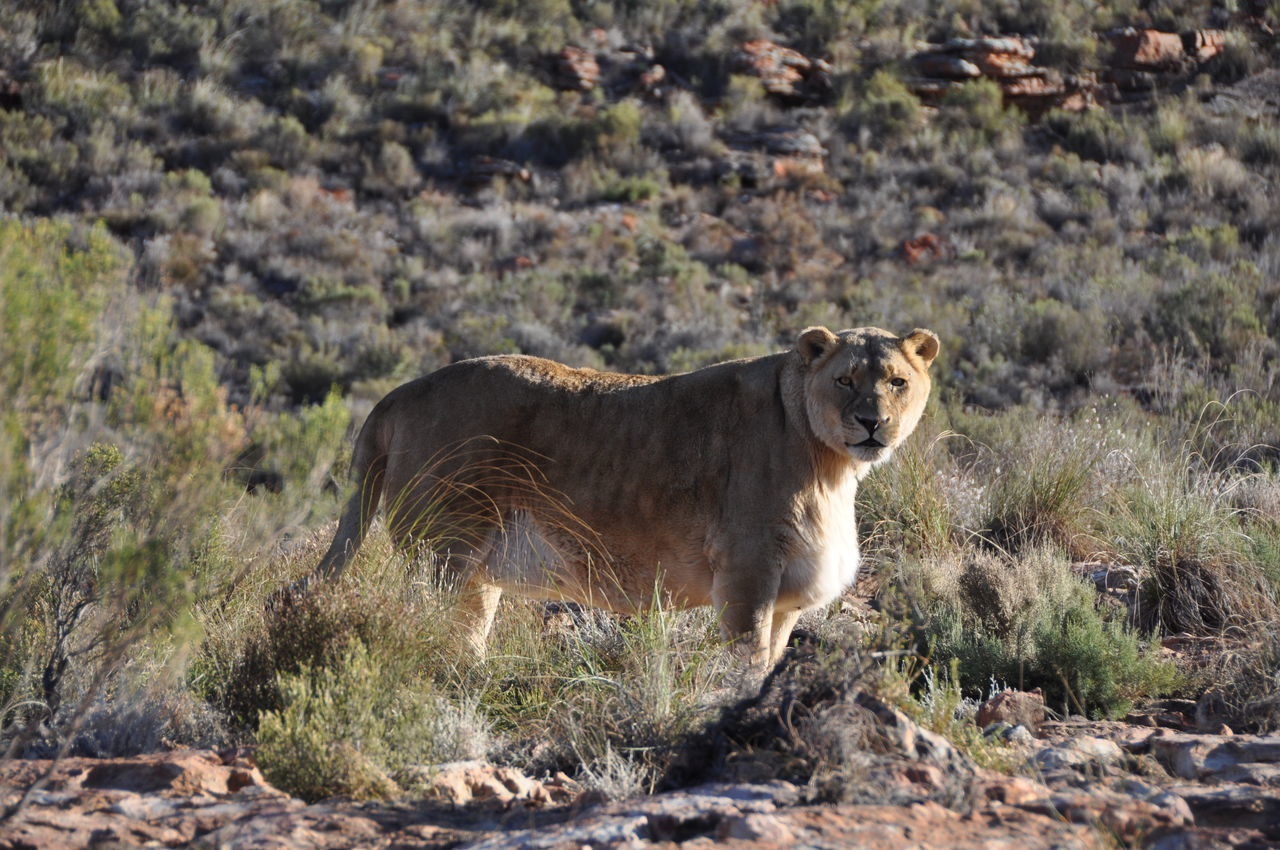 Africa Wildlife Animal Themes Animals In The Wild Aquila Game Reserve Day Feline Female Grace Lion Lion - Feline Mammal Nature No People One Animal Outdoors