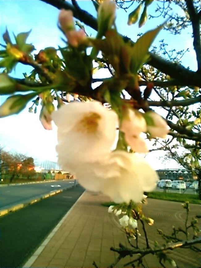 Beautiful Day Beautiful View Cherry Blossom Leaf Japanese Spring Blossom Cherry Blossoms Cherry Tree Flower Cherry Tree