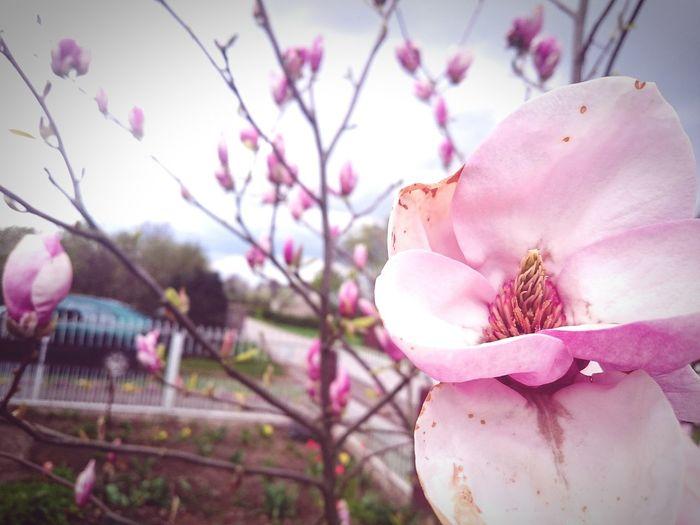 Sakura2016 in Poland 💗 Magnolia Magnolia Tree Magnolia Flower Magnolia_Blossom Magnolia Blossoms Magnolias Blooming Sakura Trees Sakura Blossom Sakura KAWAII