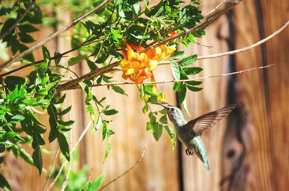 Leaf Branch Plant Nature Growth Tree Hanging Outdoors Summer Beauty In Nature Close-up No People Freshness Food Agriculture Day Animal Wildlife One Animal Bird Hummingbird Hovering Beauty In Nature Songbird  In Flight