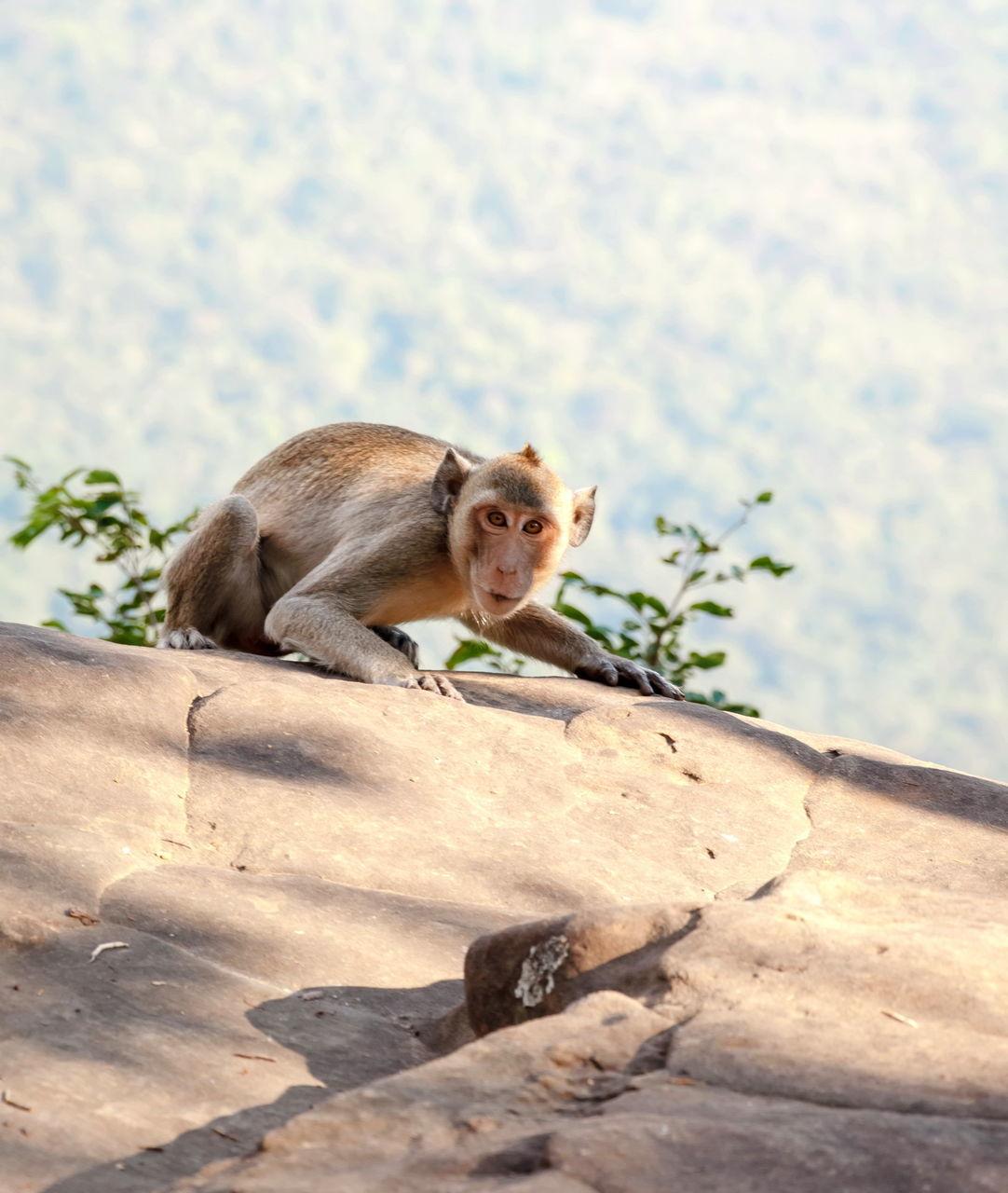 animal themes, one animal, mammal, animals in the wild, animal wildlife, sitting, no people, day, outdoors, nature, monkey, tree