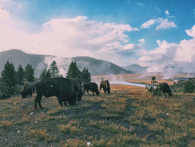 Animal Themes Bison Field Landscape Tranquil Scene Nature Tranquility Beauty In Nature