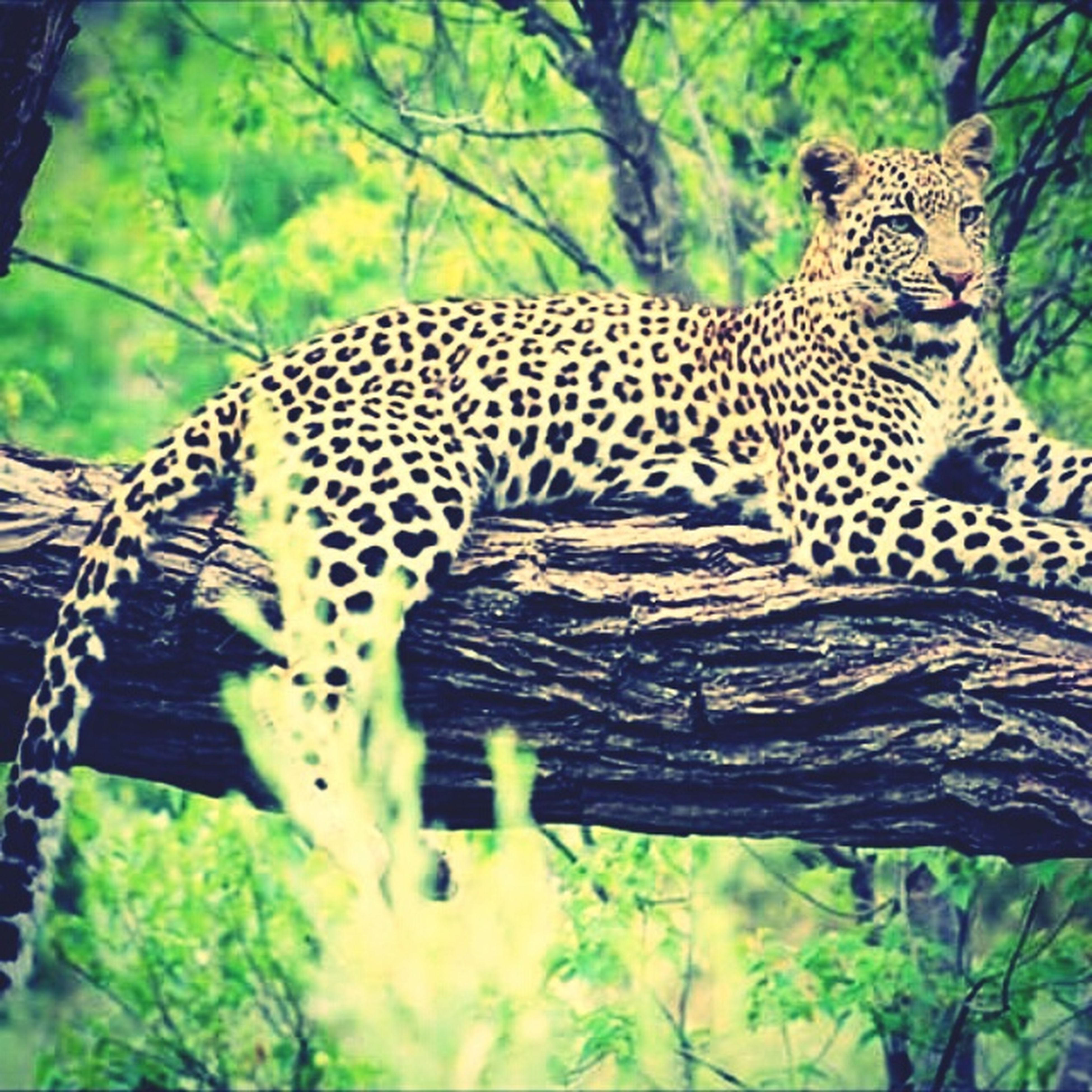 animal themes, mammal, one animal, animal markings, tiger, safari animals, leopard, wildlife, animals in the wild, endangered species, natural pattern, undomesticated cat, zoo, big cat, feline, forest, tree, giraffe, relaxation, animal head