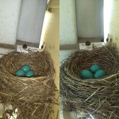 Day 2 & 3 since eggs were discovered Birds Babies Babybirds Beauty Naturephotography Nature Lifephotography Life Robin Robineggs