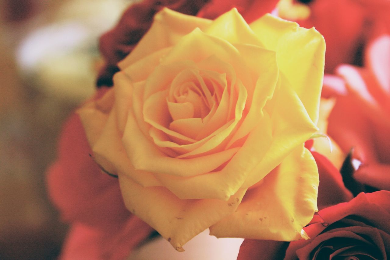 Flower Rose - Flower Fragility Petal Flower Head Close-up Nature Beauty In Nature Freshness Indoors  Day No People Yellow Flower Yellow Rose