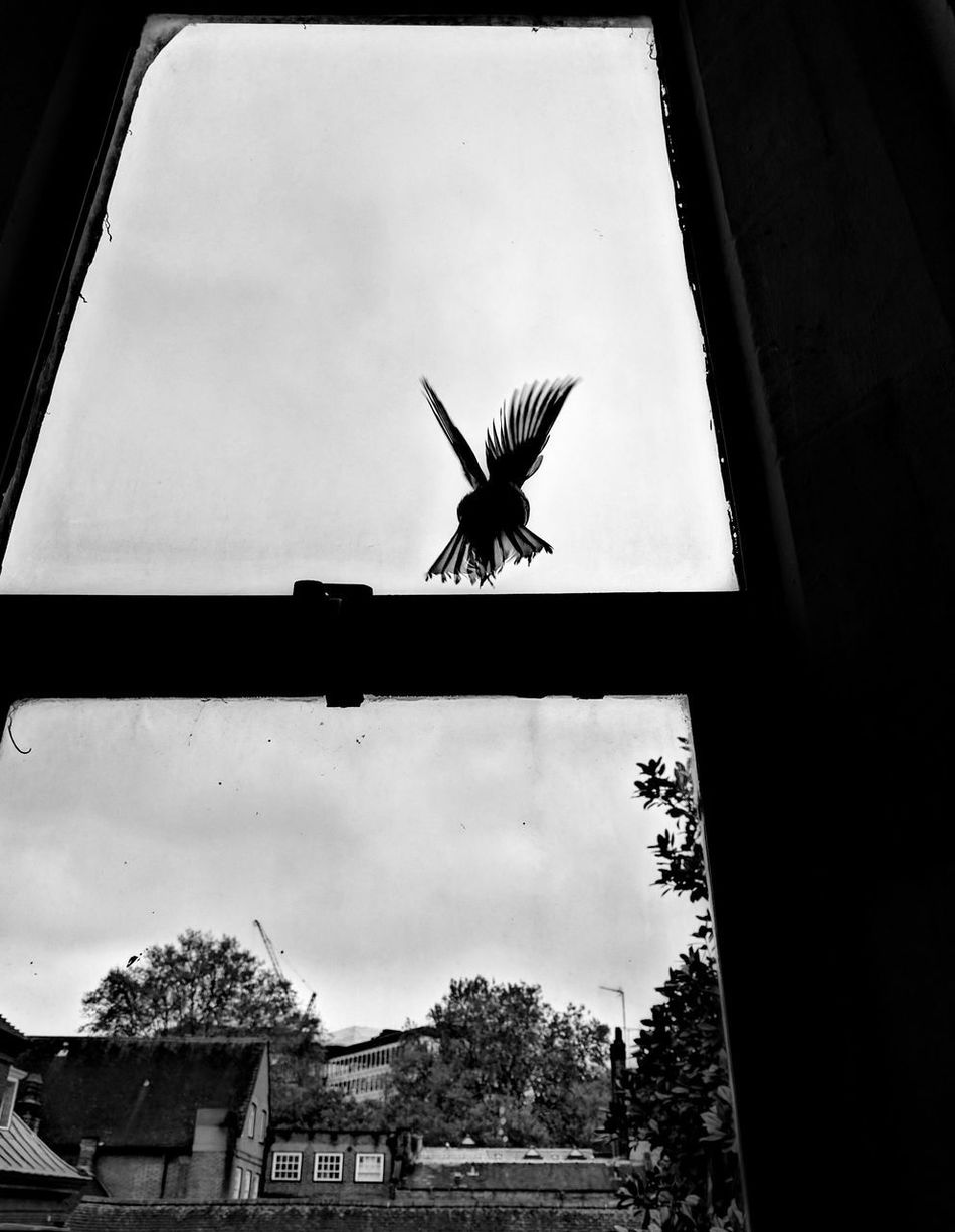 Westminster England London Monochrome High Contrast Window Sky Outdoors No People Day Low Angle View Silhouette Spread Wings Animal Themes One Animal Flying Bird Westminster Abbey