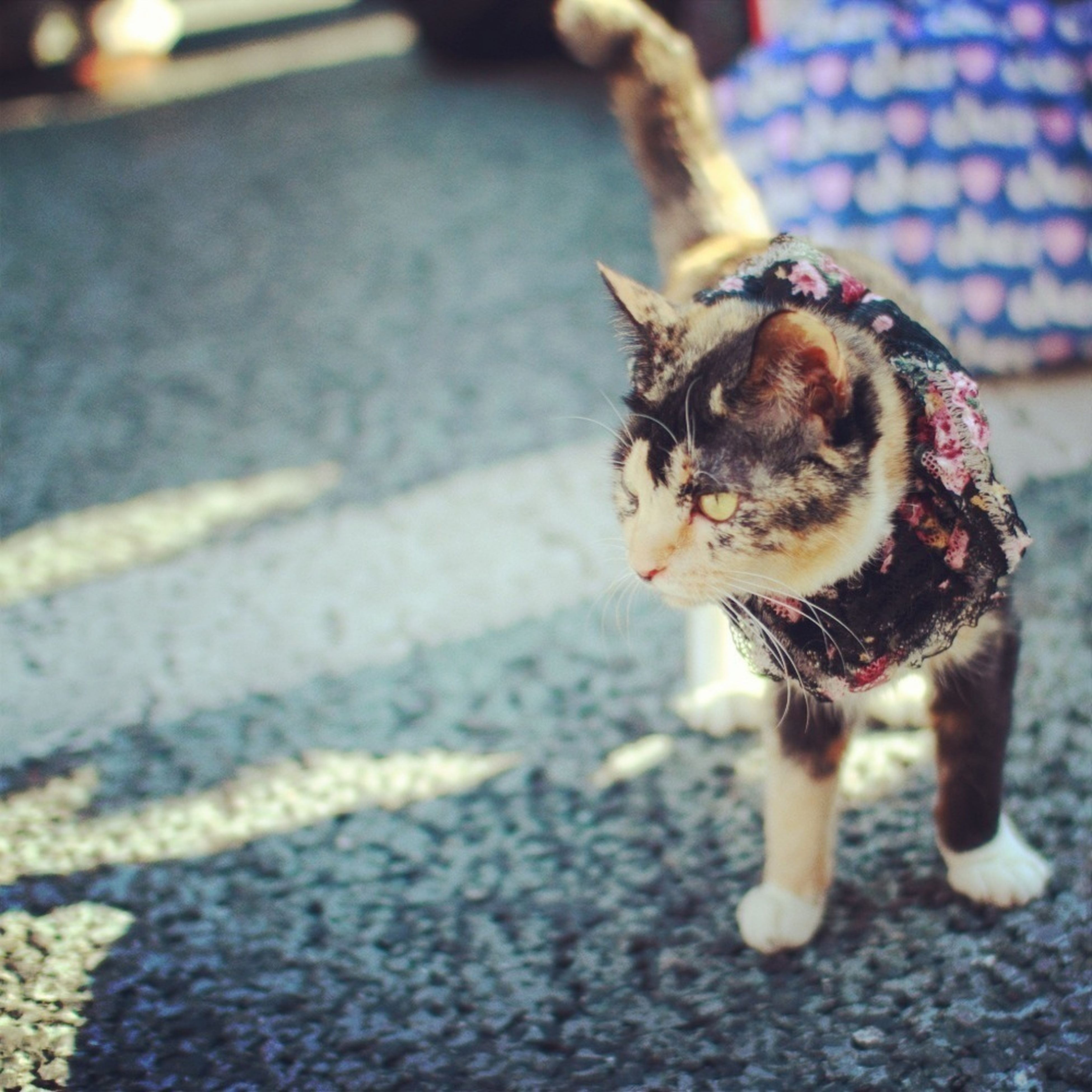 pets, one animal, animal themes, domestic animals, dog, mammal, street, selective focus, focus on foreground, portrait, looking at camera, road, pet leash, full length, running, sunlight, outdoors, day, walking, domestic cat