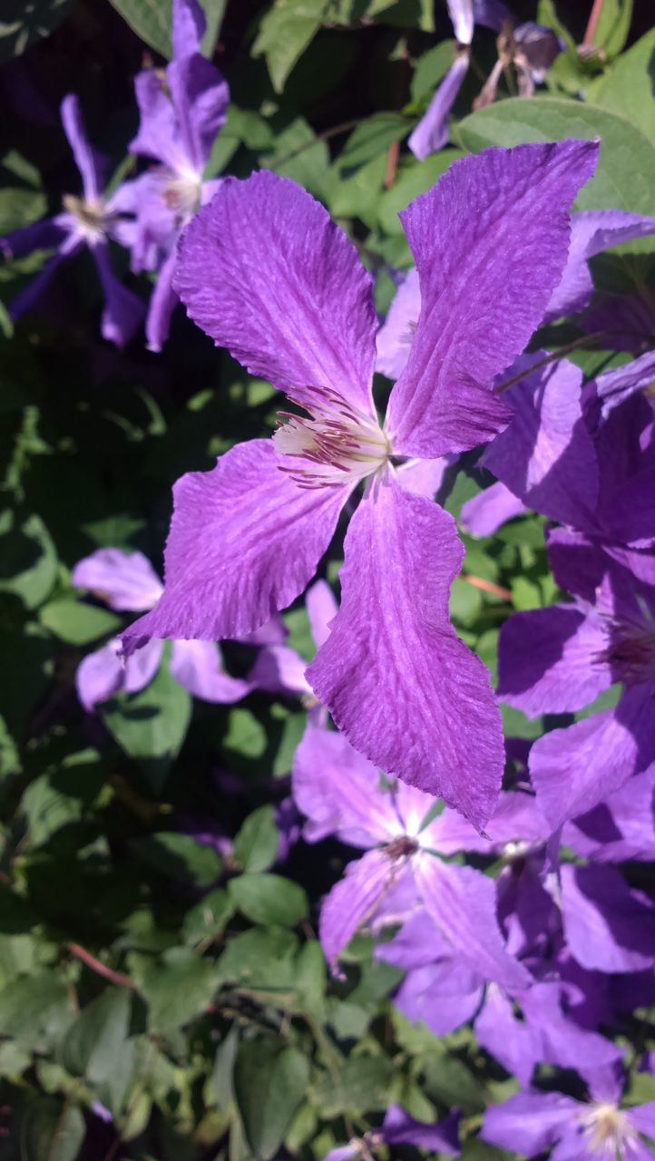 beauty in nature, flower, fragility, petal, growth, nature, purple, plant, no people, freshness, blooming, outdoors, flower head, day, close-up, petunia